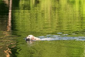 Funny Dog Labrador Floats On The Lake With A Stick. Dog Returns The Stick Thrown By The Owner