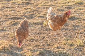 Brown Chickens Live Outdoors At Bio Poultry Farm Grass Meadow. Rural Agriculture Scene With Free Hap