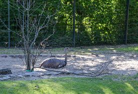 Ostrich Resting In The Shade Of The Park On The Sand. Berlin. Germany