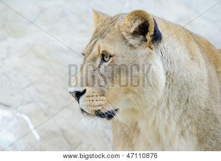 Lioness Closeup Profile