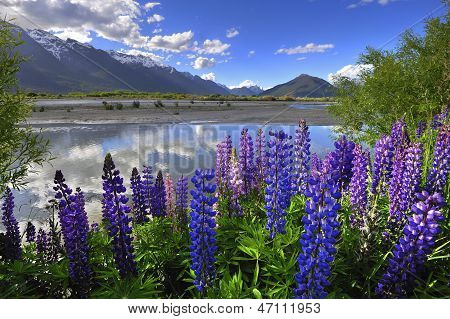 Lupines on the shore of the river