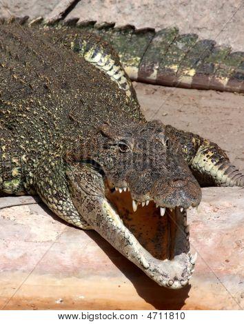 Crocodile Cuban