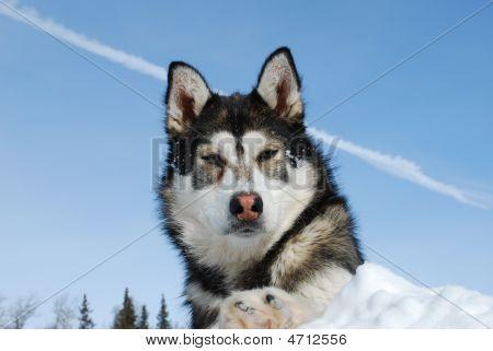 Siberian Husky Sky