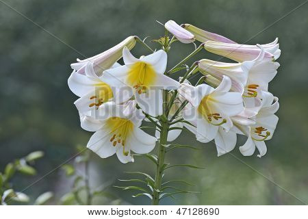 Bunch Of  White-pink Lilies