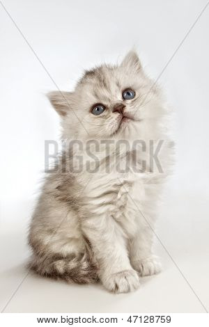 White fluffy classic persian cat isolated on white poster