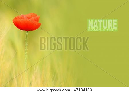 Red poppy (Papaver rhoeas) with out of focus poppy field in background. The petals from off ancient past use in the treatment lung diseases, and as tranquilizer. Picture with space for your text.