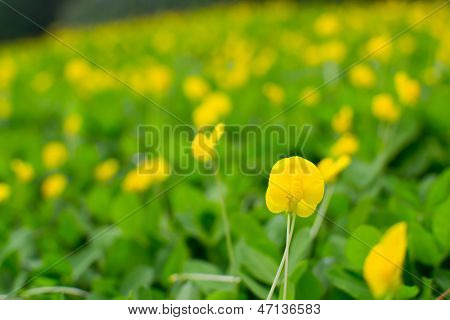Small Yellow Flower  Pinto Peanut Plant
