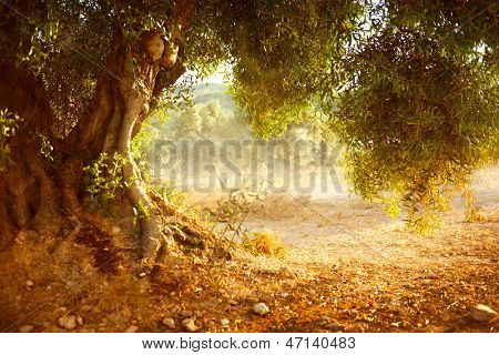 Olive Trees. Mediterranean olive field with old olive tree