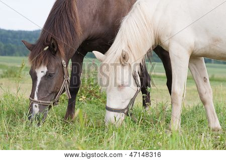 White And Brown Horse Eating Together