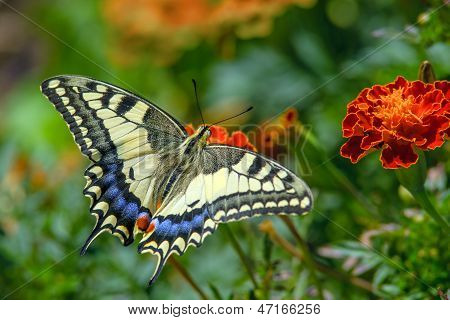 Swallowtail butterfly on the marygold flower