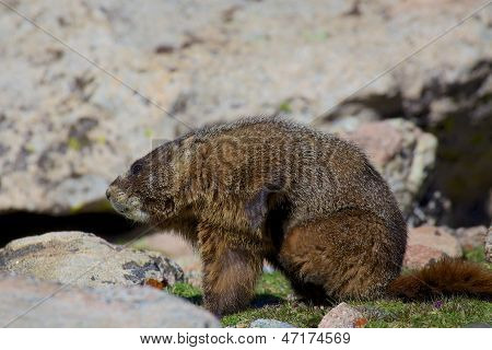 a yellow-bellied marmot in the high alpine poster