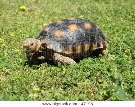 Desert Tortoise 1