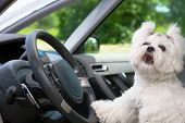 Little cute maltese dog in the car with paw on the steering wheel barking poster