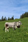Cow with beautiful bell on a meadow in the Bernese Oberland. poster