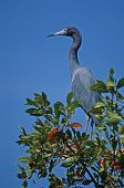 Little blue heron against sky Photographed in Florida poster
