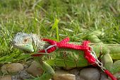 the green iguana on a red leash poster