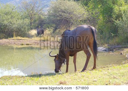 Drinking WIldebeast at the waterhole in South Africa poster