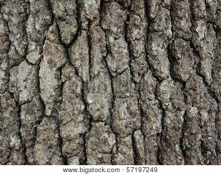 Hickory Tree Bark