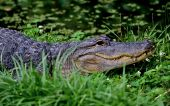 The Endangered American Alligator laying in an aquatic environment with teeth showing. poster