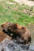 two kodiak bears playing in the refreshing water of a river poster