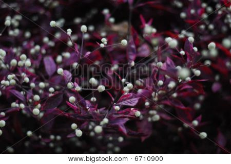 Violet Bush With White Berries