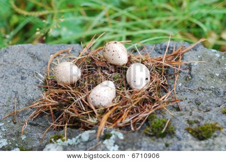 four spotted quail's eggs in a nest