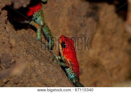 Pair Of Granular Poison Arrow Frogs