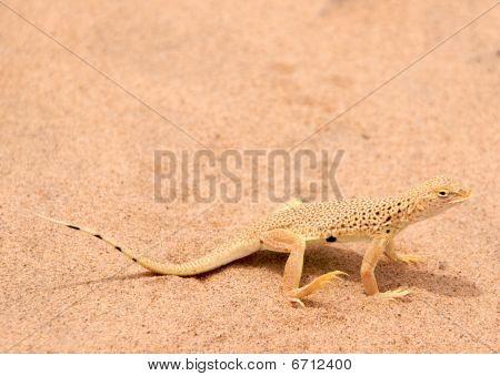 Mojave frindge-toed lizard