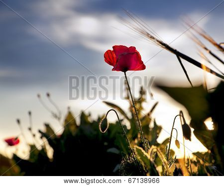 Poppy at sunset with beautiful blue sky