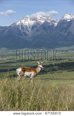 Antelope On Hill With Mountains.