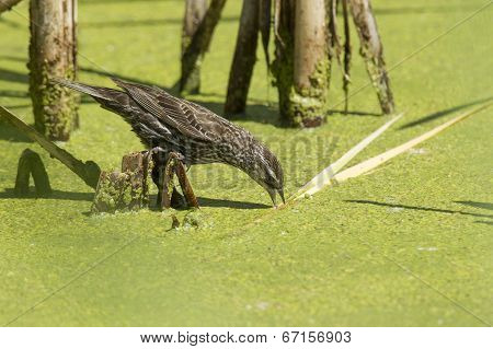 Bird Drinks From Swamp Water.