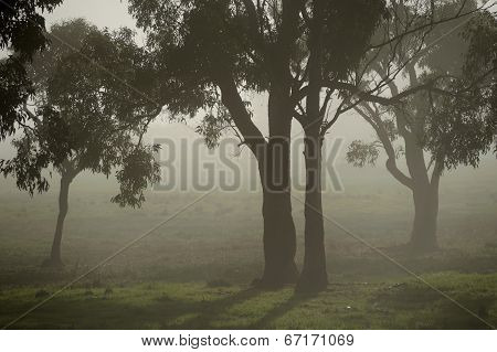 Gumtrees In The Fog