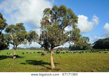 Grazing Under Gumtrees