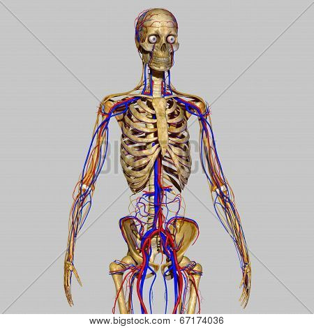 Skeleton with nervous system