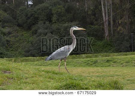 A crane walking on grass