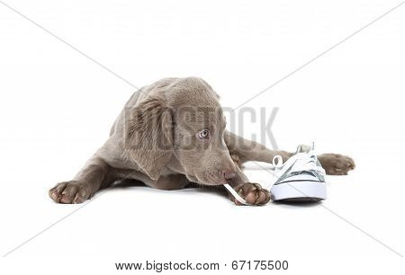 Weimaraner Puppy Pulling Shoe Lace