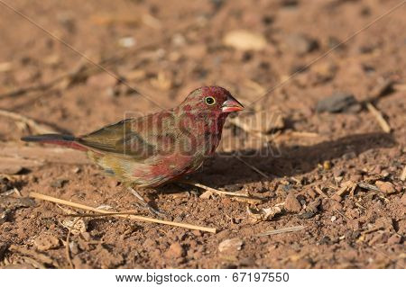 A Patchy Male Red-billed Firefinch (lagonosticta Senegala) Coming Into His Red Plumage