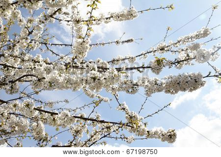 White flowers on a tree with blue sky in the background ** Note: Soft Focus at 100%, best at smaller sizes