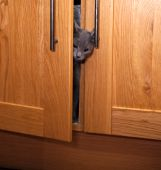 A curious grey kitten poking his head out of a cupboard door. poster