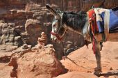 In the world are many places where you need another trasport than car - donkey. This is in archelogical site at Petra in Jordan. poster