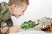 little boy feeding a large hungry pet lizard and laughing poster