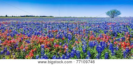 A Beautiful High Resolution Panoramic Wide Angle View of Bright Orange Paintbrush and Bluebonnet Wildflowers in a big Field in Texas. poster