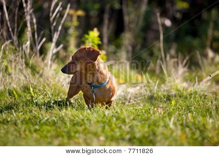 Miniature Dachshund In The Grass