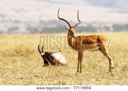 Masai Mara Grant's Gazelle