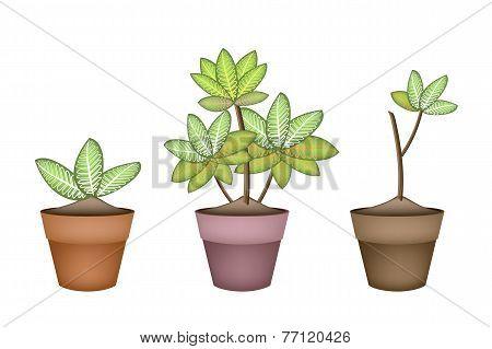 Three Dieffenbachia Picta Marianne Plant in Ceramic Pots