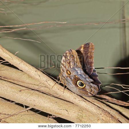 Owl Butterfly (caligo Eurolochus)