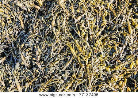 Colorful Bladderwrack From Close