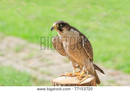 Trained Domesticated For Hunt Raptor Bird Hawk Or Falcon