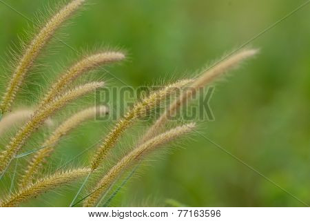 Blady Grass Flower (imperata Cylindrica)