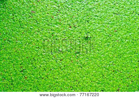 Aquatic Plant With Algal Scum